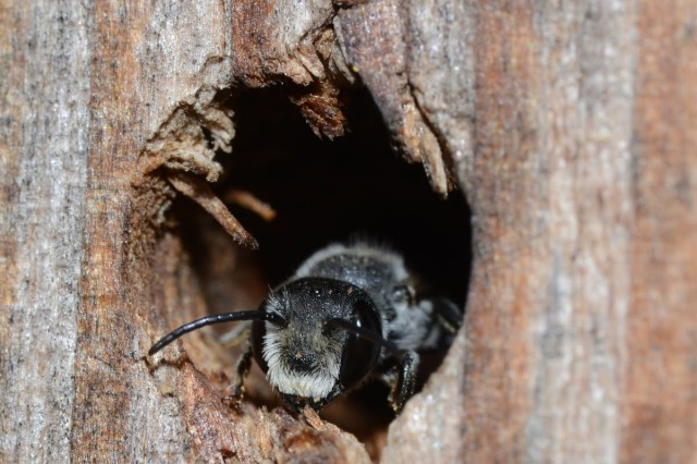 A leaf-cutter bee crawls out of a hole in some wood