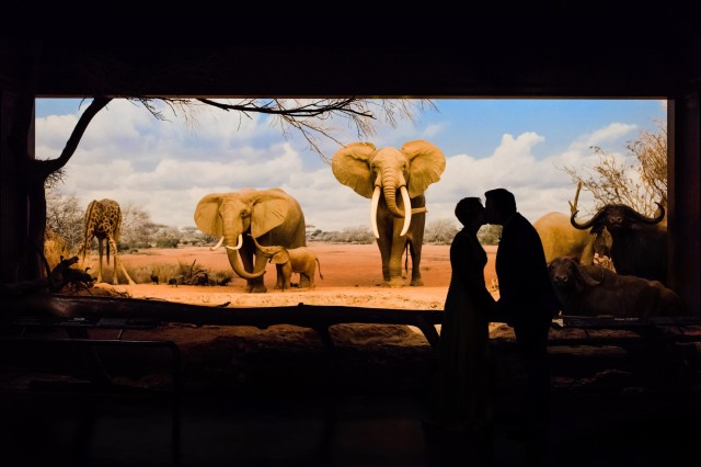 Newly Married Couple Kiss in Front of Savanna Elephants