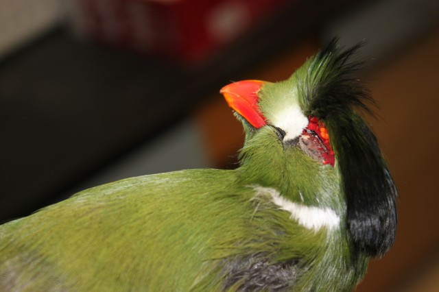 Turaco close up of green coloring and red beak