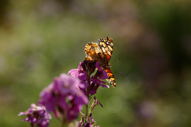 painted lady butterfly on flower