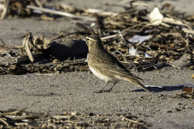 horned lark ormond beach, oxnard _inat user zabbey.jpg