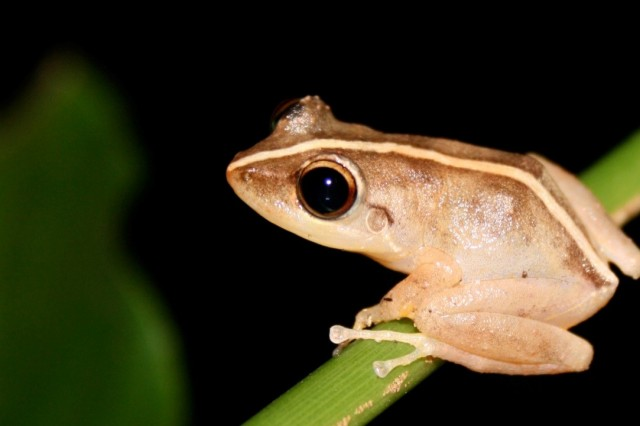 coqui frog on branch