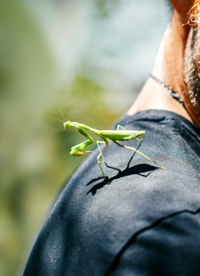 Photograph of a museum visitor in the nature garden with a praying mantis on their shoulder