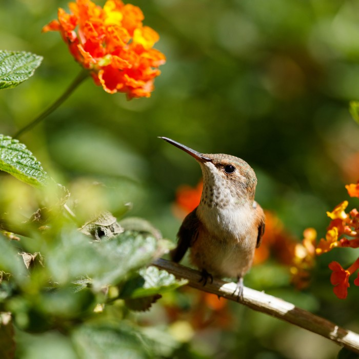 hummingbird next to flowers in the nature gardens