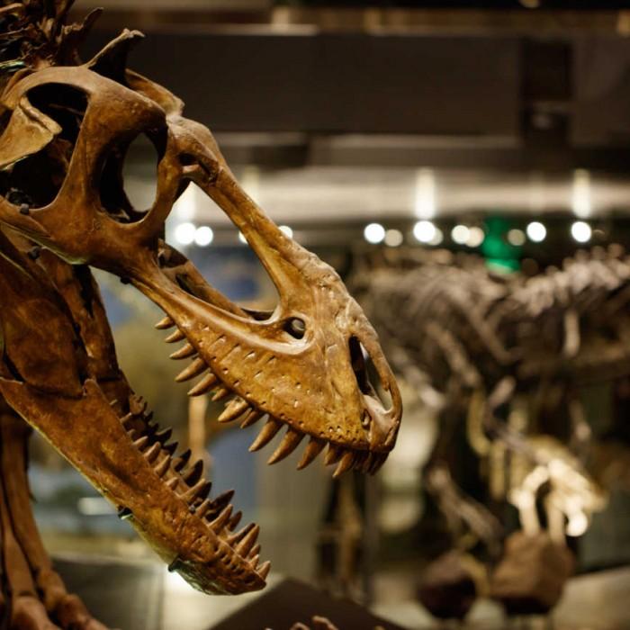T. rex skull in Dinosaur Hall