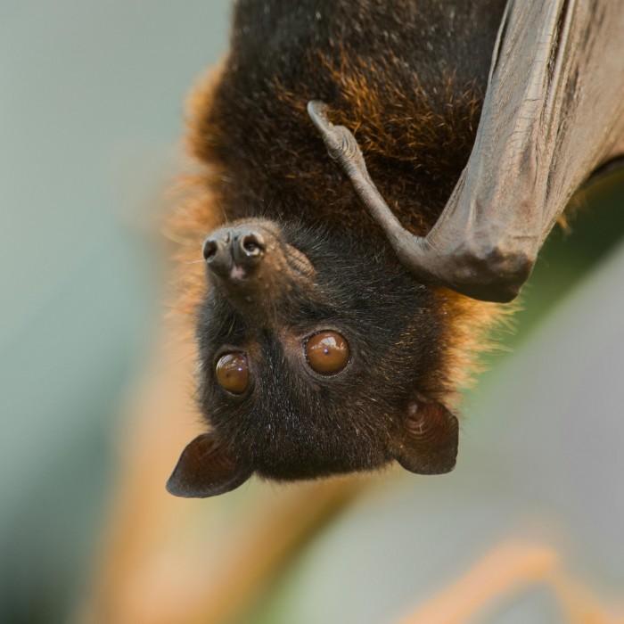 stock image of bat hanging upside down backyard bats
