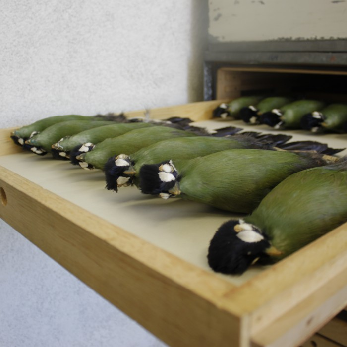 Turaco specimens in a drawer