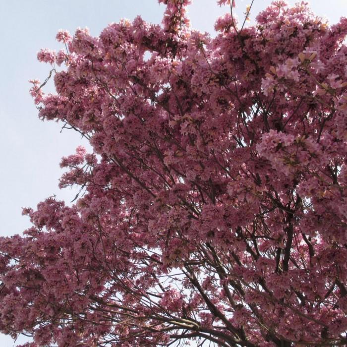 Trumpet, tree, pink, bloom, pollenated