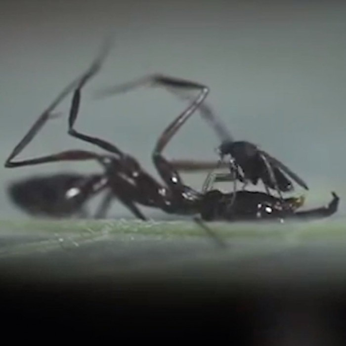Close up of ant-eating fly