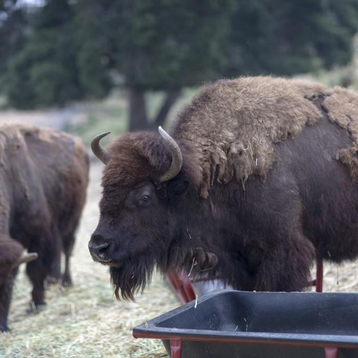 Hart museum herd of bison grazing