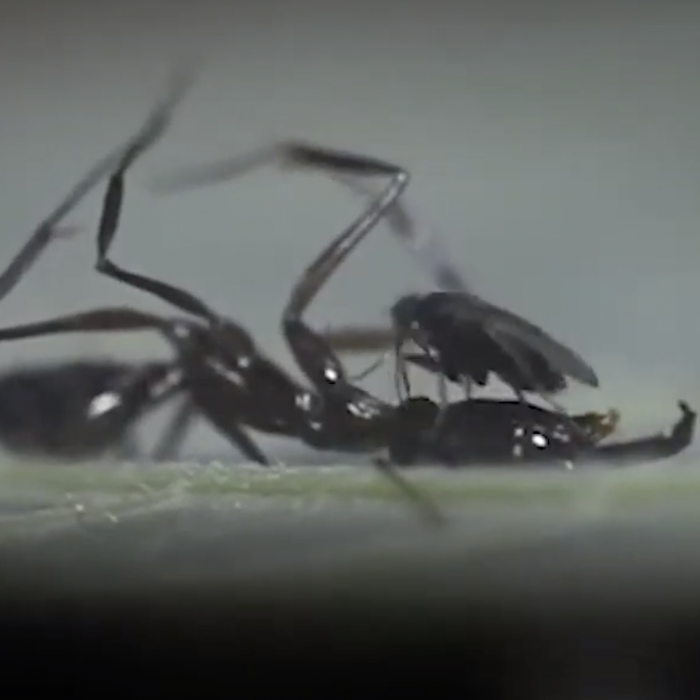 Ant decapitating fly up-close