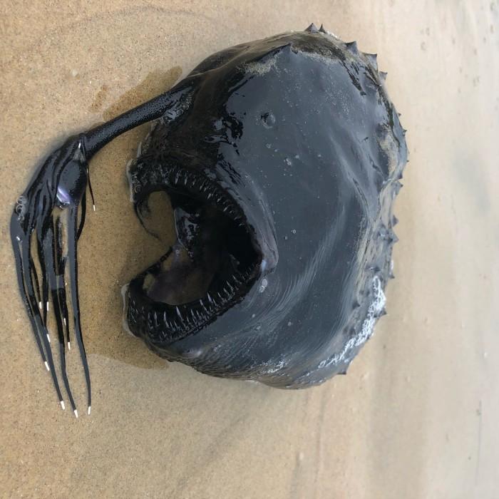 Anglerfish Pacific footballfish on sand