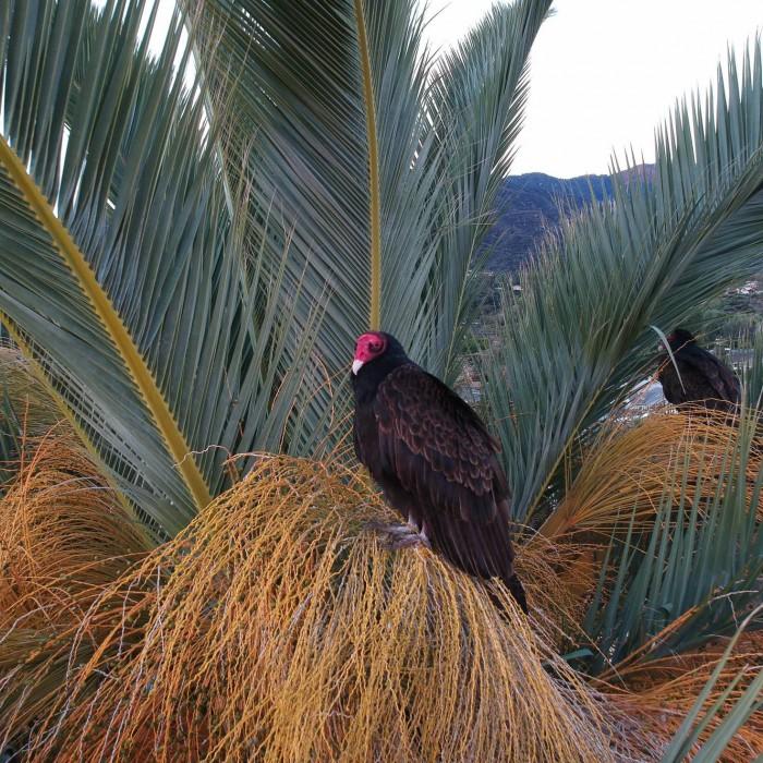 Turkey Vulture in Palm Tree