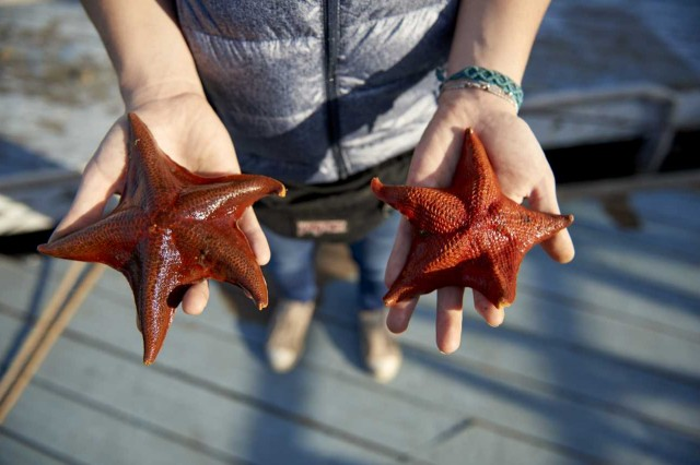 bat stars, starfish