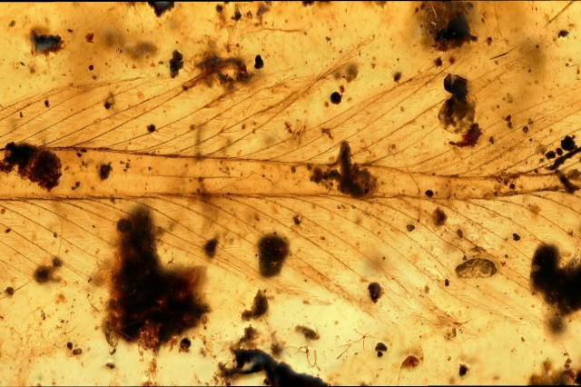 Dinosaur Feathers Trapped in Amber