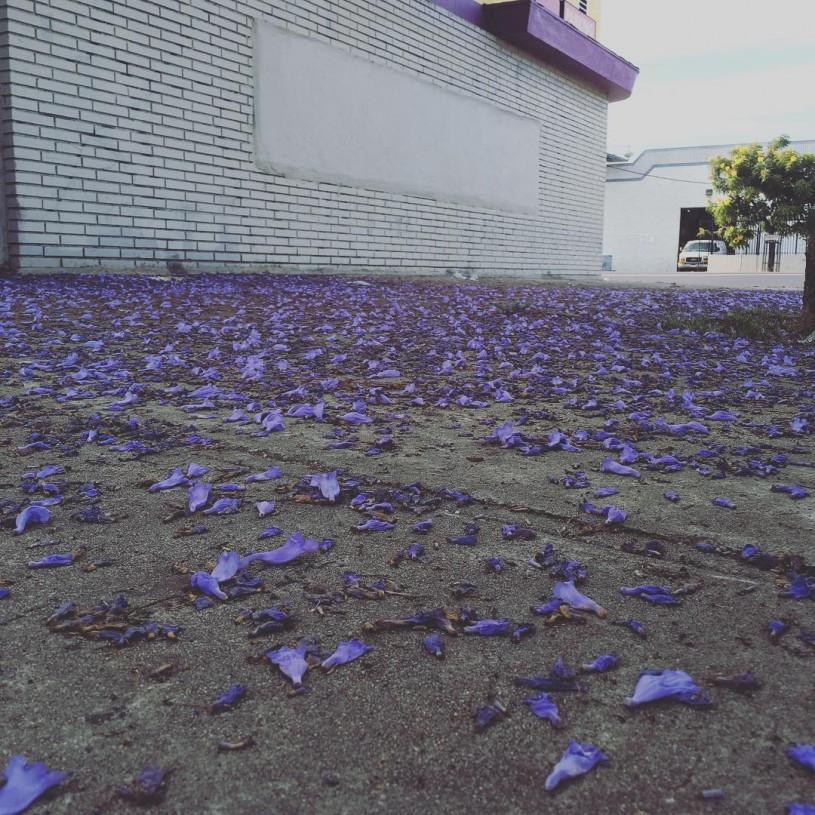 Jacaranda Blossoms on the sidewalk
