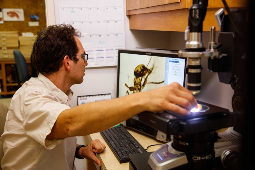 Entomology Curator Brian Brown uses a microscope to get a closer look at a piece of amber containing an ancient ant.