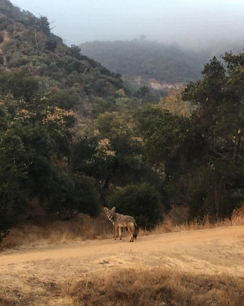Coyote strolling the trails in Griffith Park.