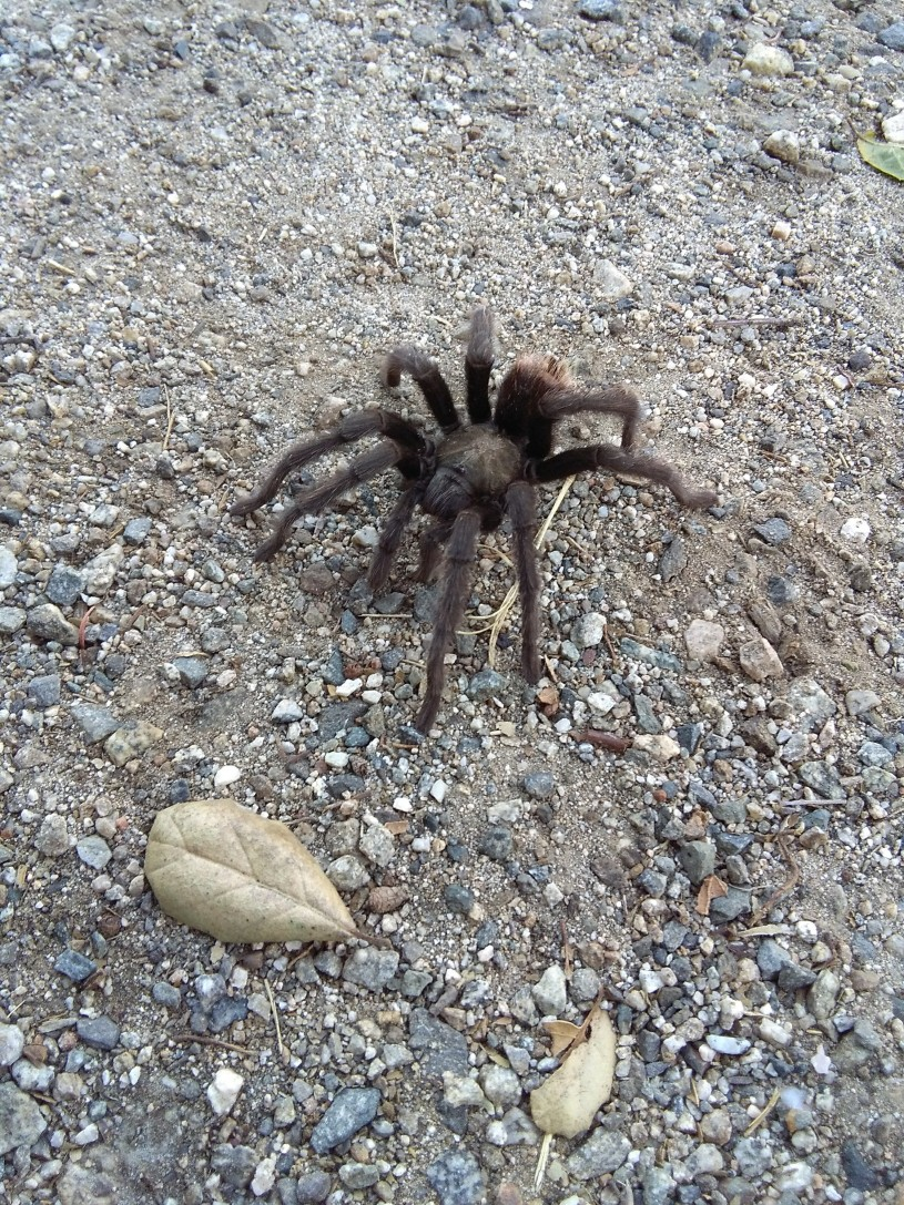 Tarantula on the trail