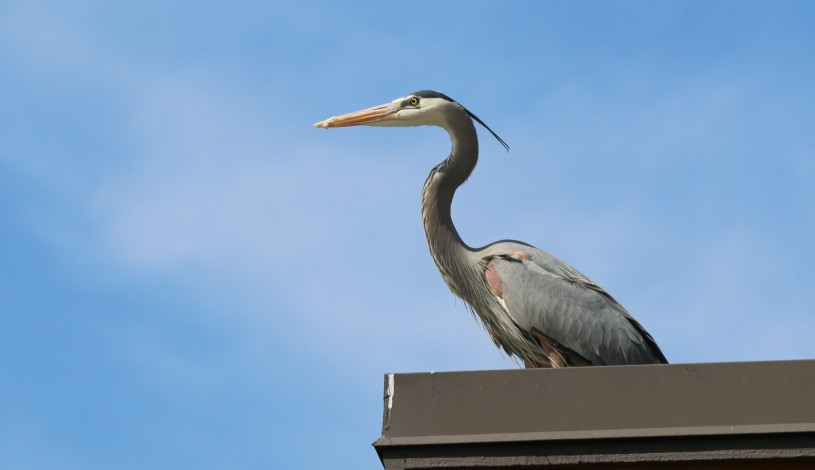 Great Blue Heron perching on the roof at the Audubon Center at Debs Park