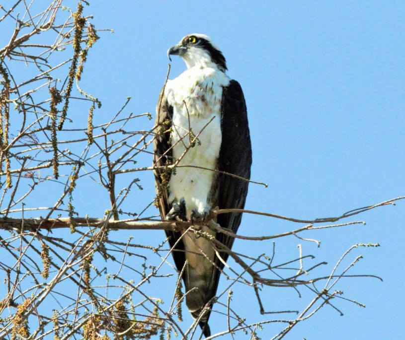 Osprey sitting in a tree above the Los Angeles River