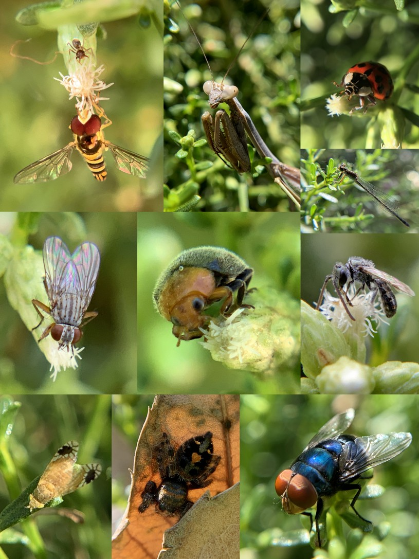 Collage of insects found in the Baccharis bush