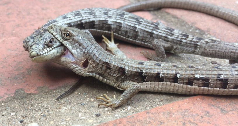 A pair of southern alligator lizards, male is biting female's head and neck