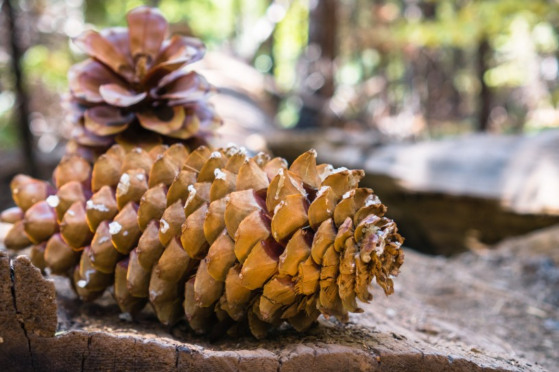 Close-up of large pinecones found in Charlton Flats