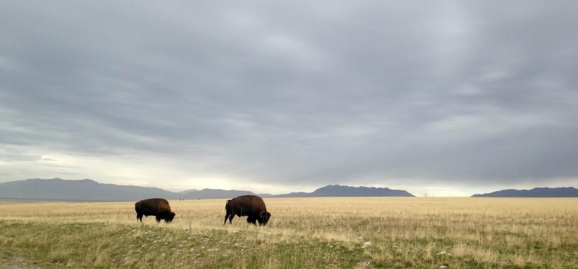 Bison on the range