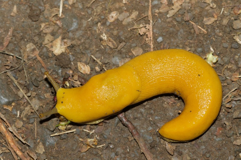 A bright yellow banana slug crawling on the dirt.