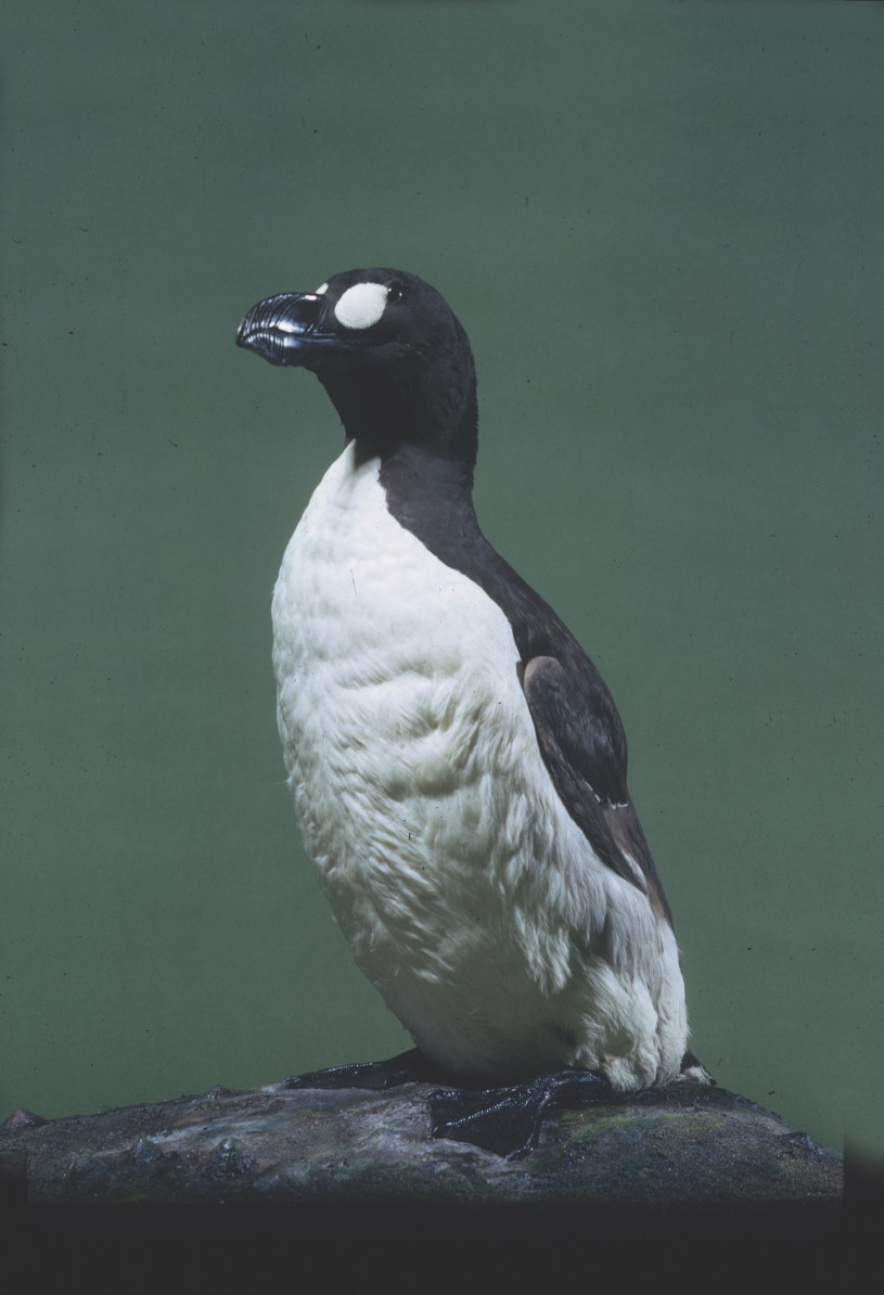 The great auk in NHM's collections