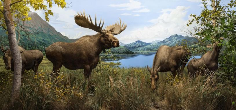 NHM Diorama with Moose