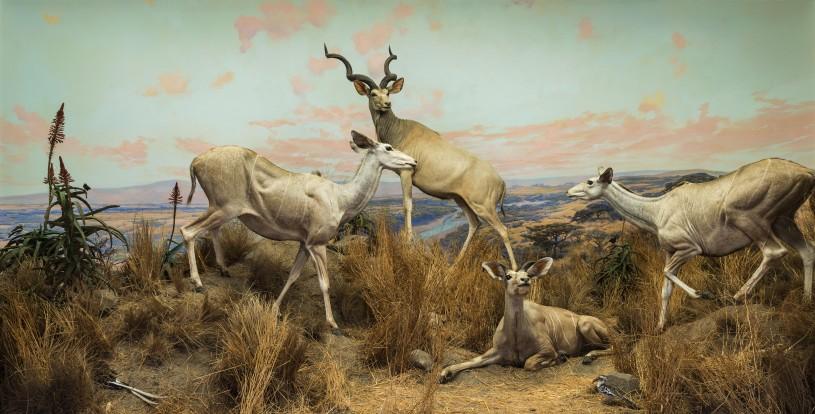 NHM Diorama with Greater Kudu