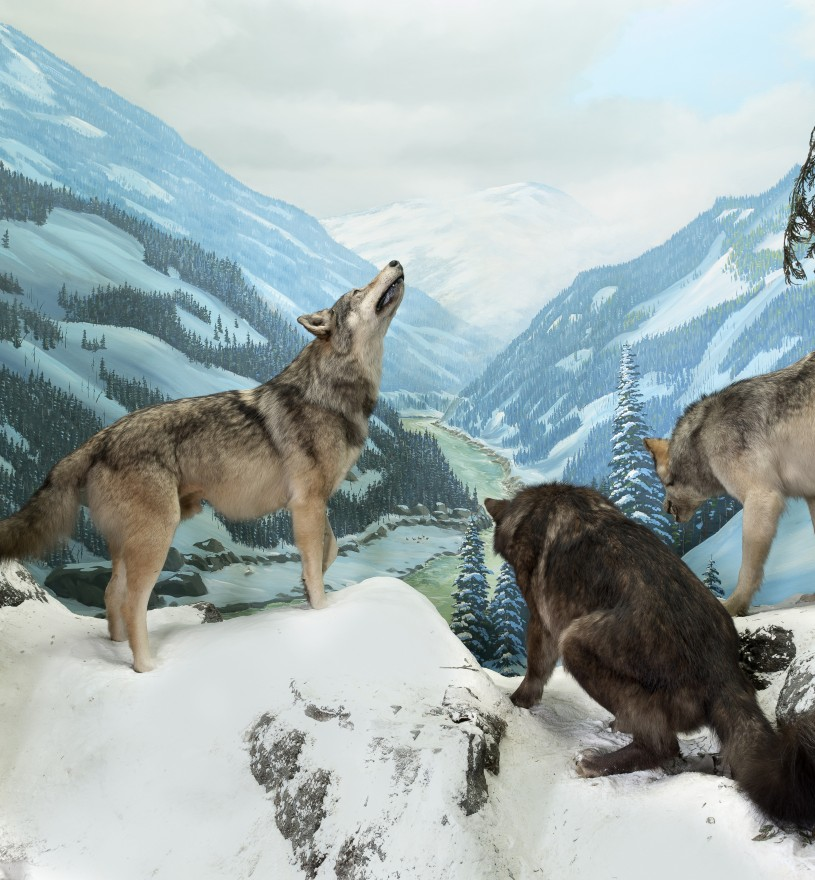 NHM Diorama with Gray Wolves