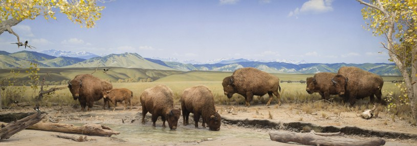 NHM Diorama with American Bison
