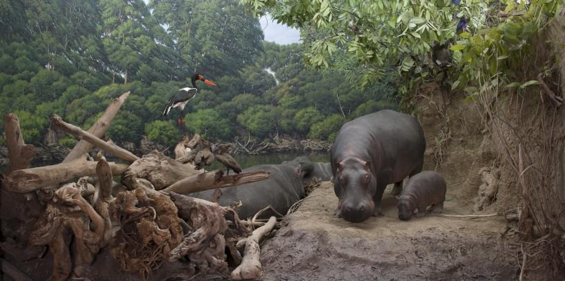 NHM Diorama with Hippopotamus