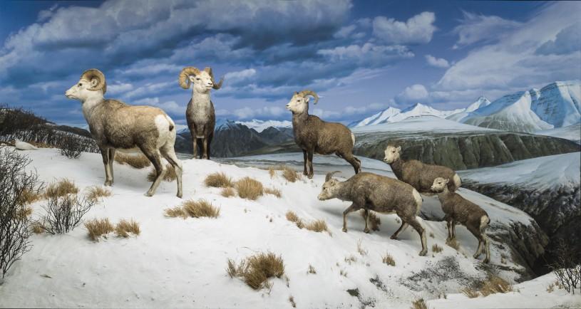 NHM Diorama with Stone Sheep