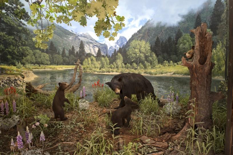 NHM Diorama with American Black Bears