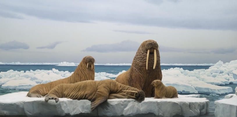 Walrus Family from NHM diorama hall