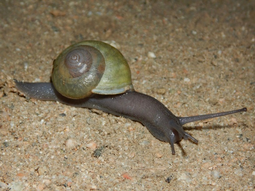 A native California snail with a dark body and green shell crawling across grainy dirt.