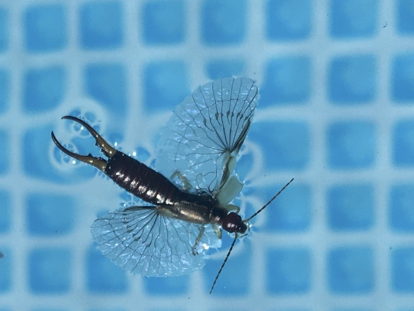 An earwig floating in a pool or fountain with its transparent wings spread out.