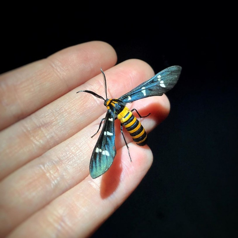 Yellow-banded wasp moth (Syntomeida ipomoeae).