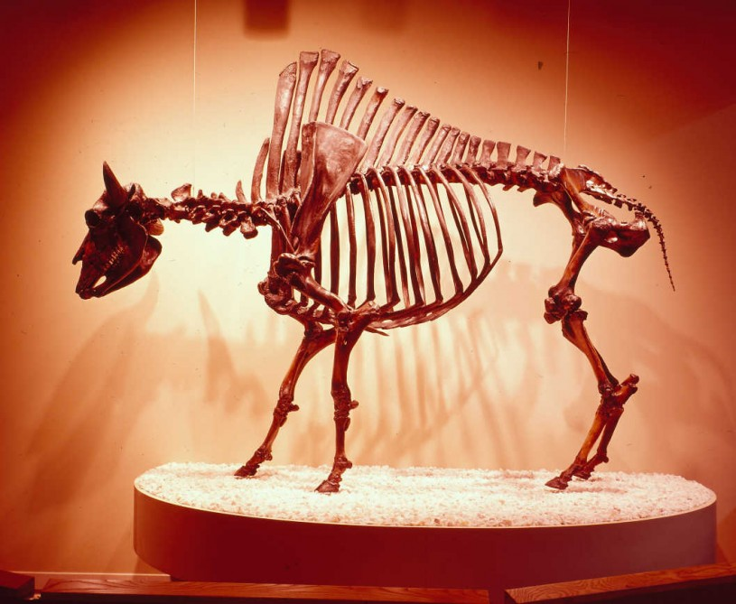 Bison fossil skeleton from the La Brea Tar Pits