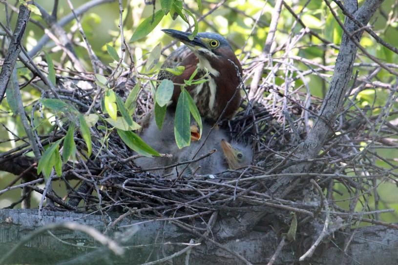 Green Heron iNaturalist