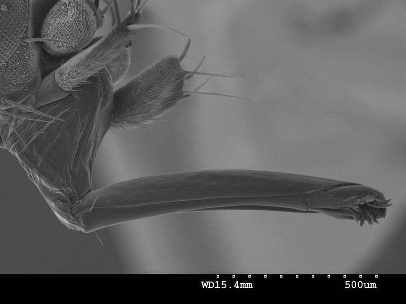 dohrniphora fly head SEM scan