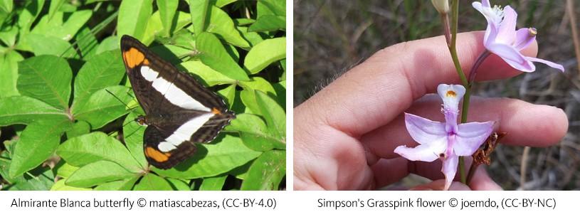 Left: Almirante Blanca butterfly  © matiascabezas; Right: Simpson's Grasspink flower © joemdo
