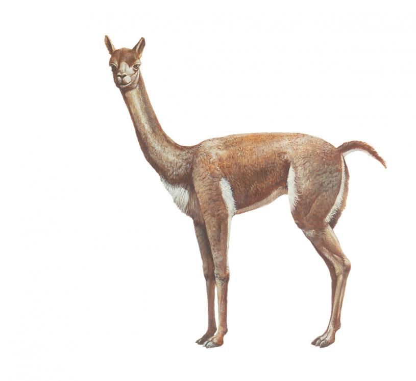 llama isolated
