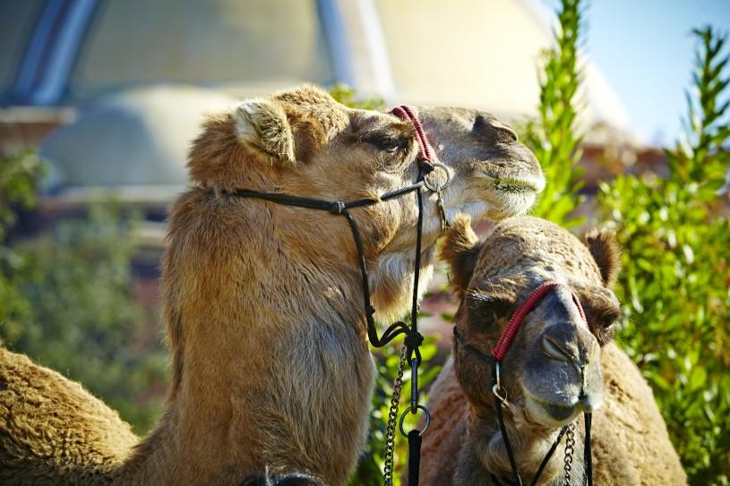 Camels at NHM