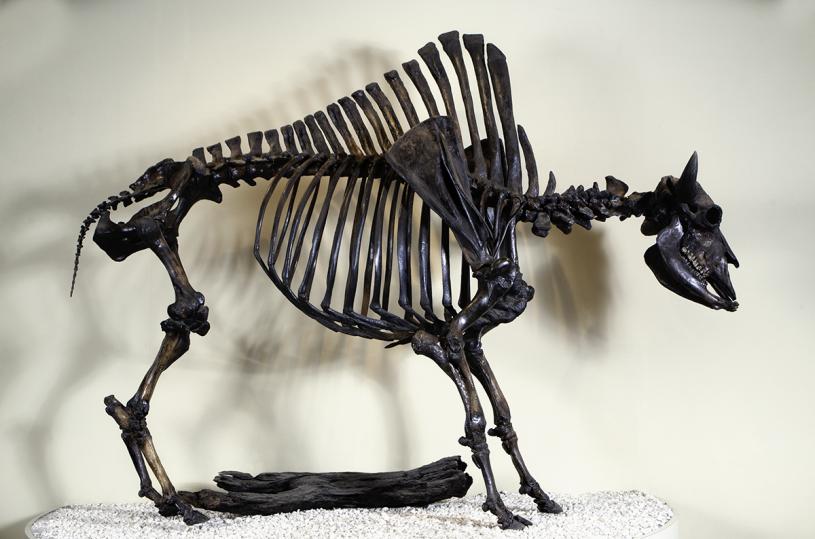 Bison skeleton from LBTP