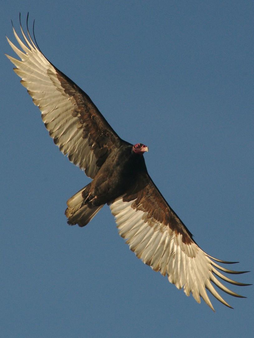 Turkey vulture wings spread from below